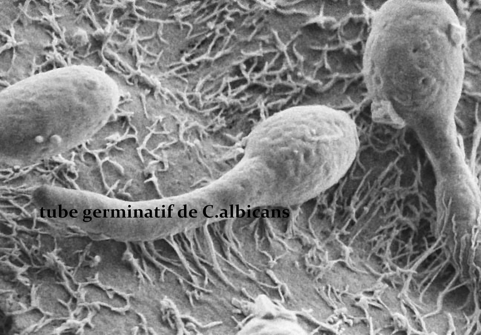 Tube germinatif de c.a